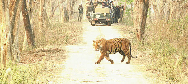tiger-in-kaziranga